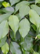 Fikus - Ficus benjamina Columnar stem 40x275 cm