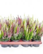 Calluna vulgaris Beauty Ladies mixed 9,5x12,5 cm
