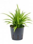 Chlorophytum comosum Lemon 13/12 v. 40 cm