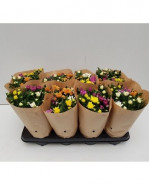 Chrysanthemum - Chryzantéma Ind.Grp.Da Vinci mix 14x28 cm