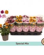 Chryzantema - Chrysanthemum Ind. farebný mix flower 12x25 cm