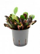 Kroton - Croton (codiaeum) variegatum Mammi 13/12 výška 30 cm
