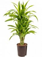"""Dracaena fragrans """"Lemon lime"""" Branched multi pots.18/19 výška 80 cm"""