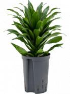 Dracaena fragrans compacta Head 15/19 v. 45 cm