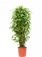 Dracaena surculosa Tuft (170-210) 30x220 cm