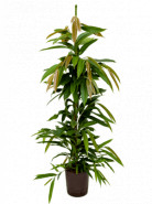 "Fikus - Ficus binnendijkii ""Amstel King"" Tuft 18/19 výška 120 cm"