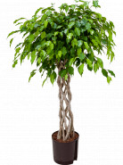 "Fikus - Ficus benjamina ""Exotica"" Open window 22/19 výška 130 cm"