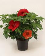 Hibiscus moscheutos Oak Red 23x70 cm