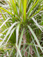 Dracaena marginata 24x120 cm