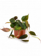 Philodendron micans 12x20 cm