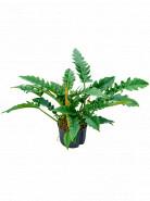 Philodendron narrow Bush Pots.25/19cm v.60 cm