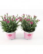Dianthus Pink Kisses 12x25 cm