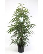 Ficus alii tuft pots. 27 cm v. 130 cm
