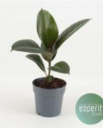 Ficus elastica robusta 12x30 cm