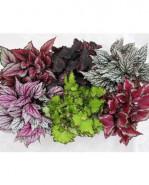 Begonia leaf magic colours mix 13x25 cm