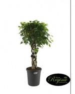 Ficus Benjamina Exotica 31x140 cm