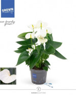 Anthurium Anthedesia white 12x35 cm