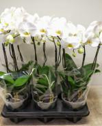 Phalaenopsis orchidea Floriclone Grand Dessert 12x35 cm