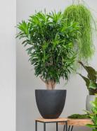 Pleomele (Dracaena) Reflexa Branched Pots.30 x130 cm