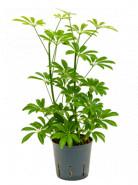 Schefflera louisiana 2pp 13/12 výška 35 cm