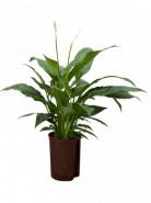Spathiphyllum mont blanc 15/19 v.70 cm