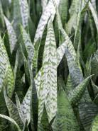 Sansevieria zeylanica Tuft 15/19 v60