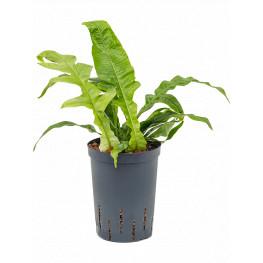 Aglaomorpha coronans pots. 15/19 cm výška 35 cm