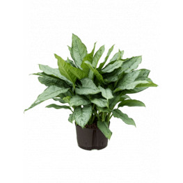 Aglaonema freedman Tuft 28/19 - 65 cm