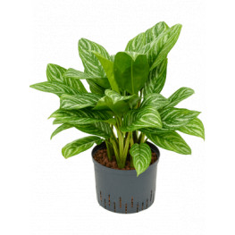 Aglaonema stripes Tuft Pots.25/19 cm v.70 cm