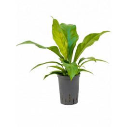 Anthurium elipticum Jungle hybriden 15/19 výška 45 cm