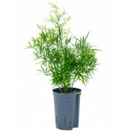 Asparagus falcatus 13/12 v. 40 cm