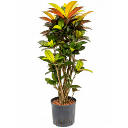 Croton iceton Branched 22/19  100cm