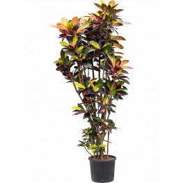 "Kroton - Croton (Codiaeum) variegatum ""Mrs. Iceton! 30/26 výška 210 cm"