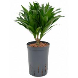 Dracaena fragrans compacta 15/19 výška 45 cm