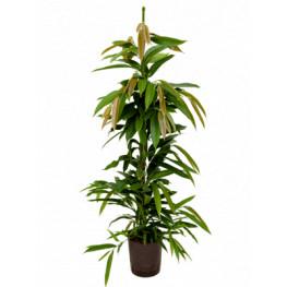 Ficus amstel king 22/19 výška 170 cm