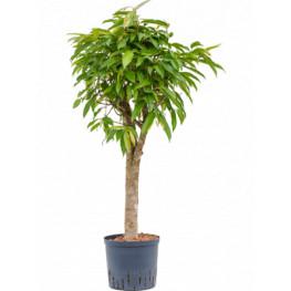 "Fikus - Ficus binnendijkii ""Amstel King"" Stem 22/19 výška 105 cm"