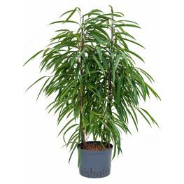 Ficus alii 2pp 25/19 v.110 cm