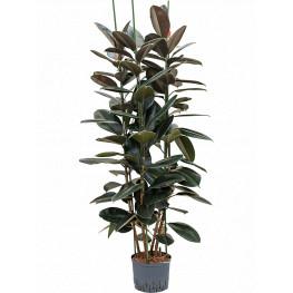 "Fikus - Ficus elastica ""Abidjan"" 3pp 25/19 výška 150 cm"