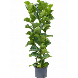 Ficus lyrata bambino 3pp pots. 25/19 v. 110 cm