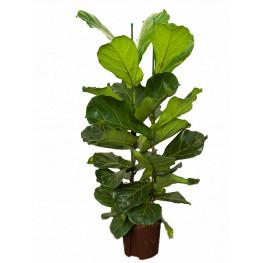 Ficus lyrata 22/19 v.120 cm