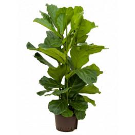 Ficus lyrata 28/19 cm v.130 cm