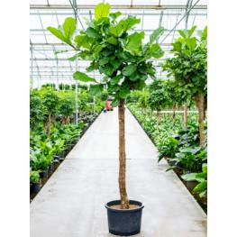 Ficus lyrata Stem 40/37 v300 cm