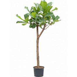 Ficus lyrata Stem Pots 28/24 cm výška 180