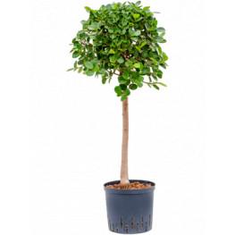 Fikus - Ficus Panda stem 22/19 výška 95 cm