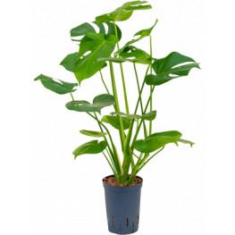 Philodendron pertusem monstera pots.15/19 v. 55 cm