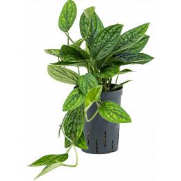 Philodendron (monstera) karstenianum 15/19 v.35 cm