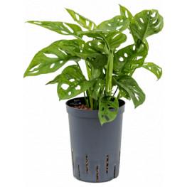 Monstera obliqua Hanging plant 15/19 výška 40 cm