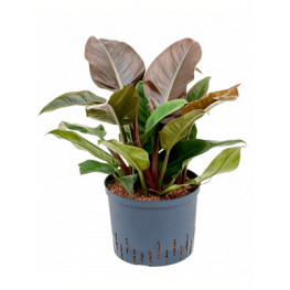 Philodendron imperial red 25/19 v.55 cm