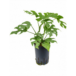 Philodendron minima hanger 15/19 v.40 cm
