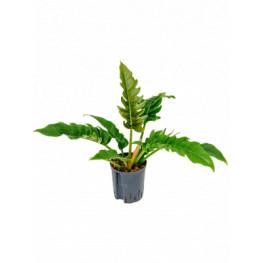 Philodendron narrow bush 18/19 výška 55 cm
